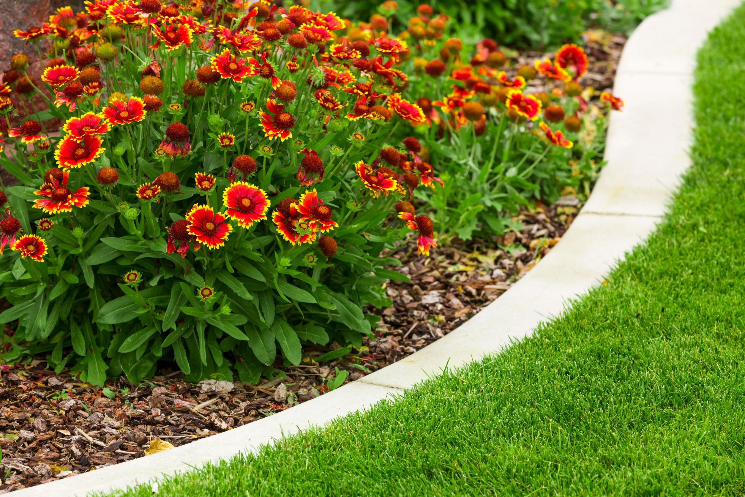 blanket flower edging with turf