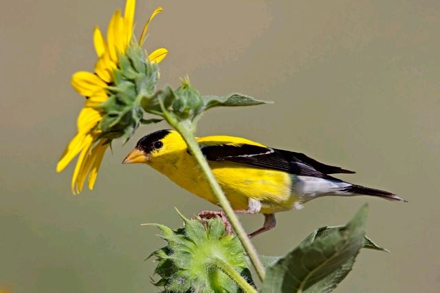 AmerGoldfinch_by DVogel